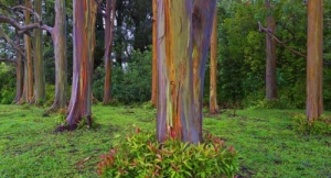 alberi arcobaleno